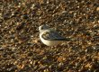 Birds: Sanderling (Calidris alba)